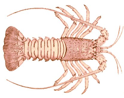 Spiny lobster!
