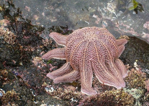 Starfish (Stichaster australis) feeding on the shore (source)