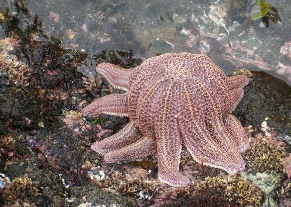 Starfish (Stichaster australis) feeding on the shore (source)