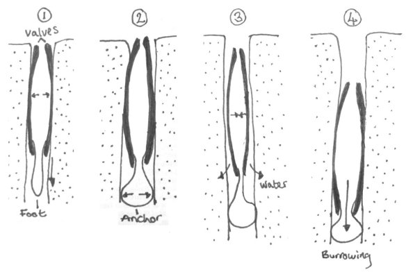 A bivalve's guide to burrowing: (1) push valves out against the sand and extend your foot downwards, (2) inflate your foot to create an anchor, (3) close your valves to release water and create a quicksand through which you can move, and (4) contract your muscle and glide through this fluidised sediment. Repeat several times to escape any danger and you should flee successfully at a rate of ~1 cm/s.