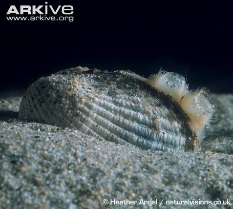 The common cockle (Cerastoderma edule) with inhalant (for feeding) and exhalant (for excreting) siphons (source).