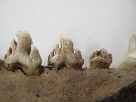The forked cheek teeth of a crabeater seal, Lobodon carcinophaga, (the 3rd from the left has been partially damaged)