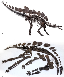 Sophie the Stegosaurus, recently published in PLOS ONE, and covered by the Paleo network!